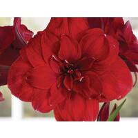 Double Dragon Amaryllis